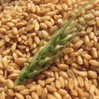 Лимецът, древната пшеница