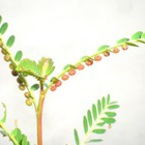 Чудотворният phyllanthus - най-ценната билка в света