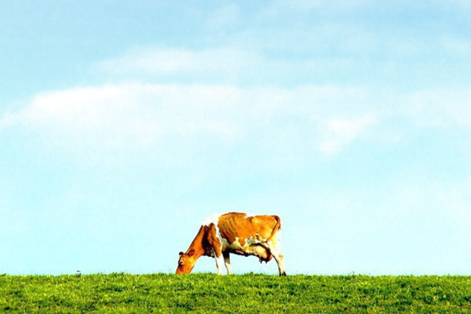 ГМО-крава дава хипоалергенно мляко