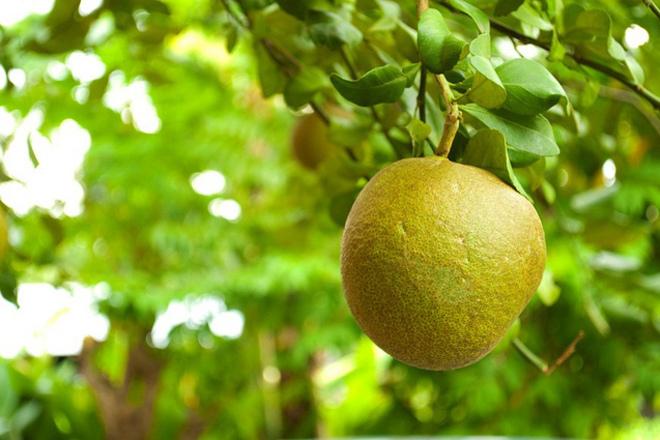Помело - впечатляващият, полезен плод