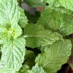 Подправки и билки, които може да отгледаме у дома (2 част)