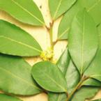 Основно пречистване на организма с дафинов лист