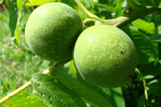 Зелени орехчета при бронхит и още много заболявания
