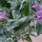 Градинският чай – билката чудо