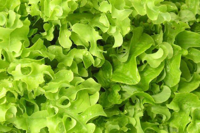 Марулята - вторият най-популярен зеленчук в света