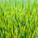 пшенични стръкове