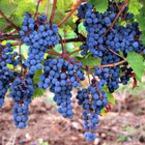 Какво не знаем за гроздето
